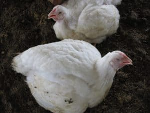 poultry in tropical areas - panting chickens